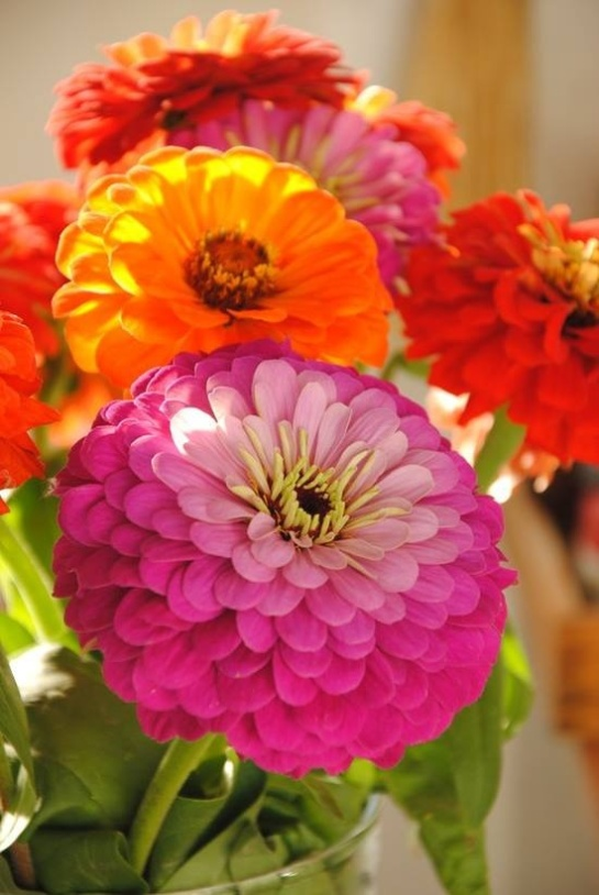 Bold colorful zinnias.
