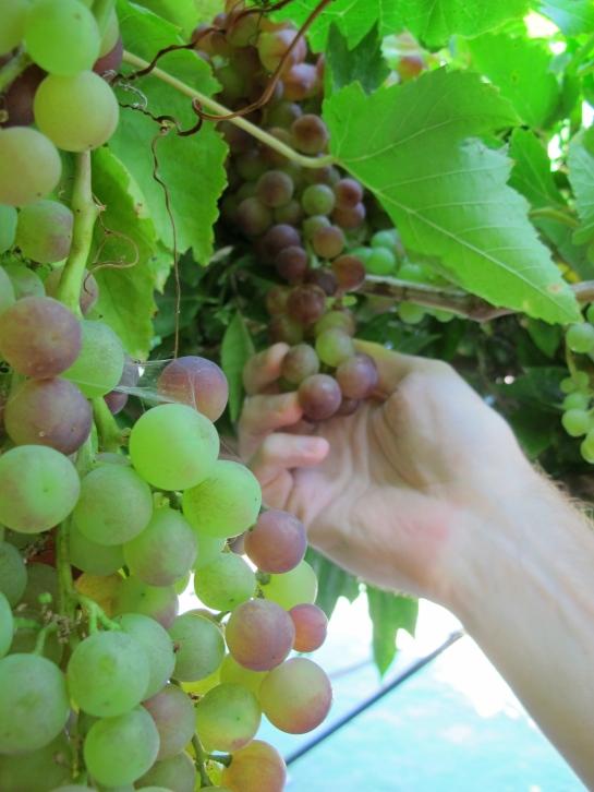 Grape vines growing in the backyard