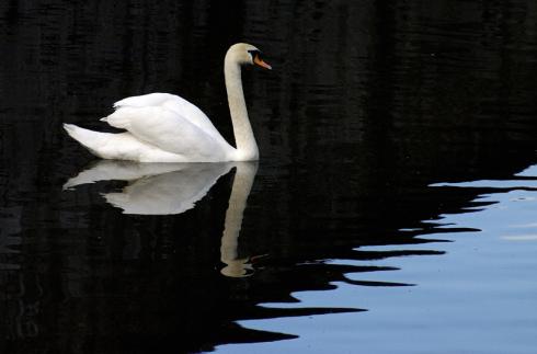 bruges-swan-cantorboi