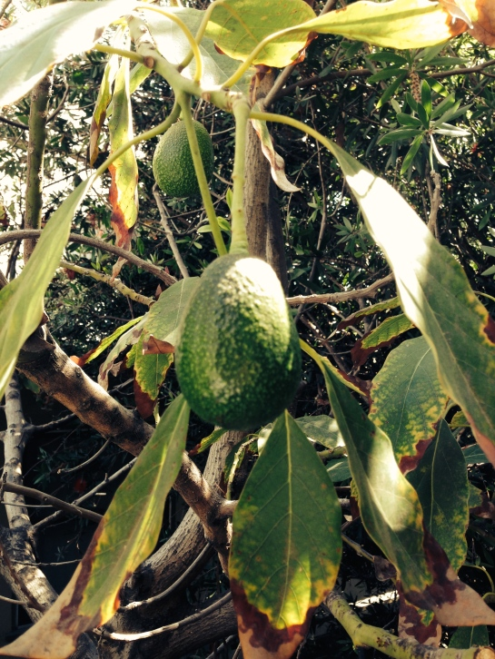 The avocado tree outside of my office